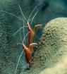 Shrimp Ballet