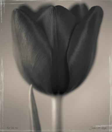red tulip 06