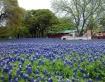Bluebonnet Fields...