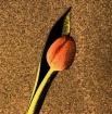 Flower Still 1