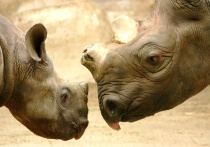Mother and Baby Rhino Closeup