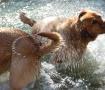 Labrador Shower
