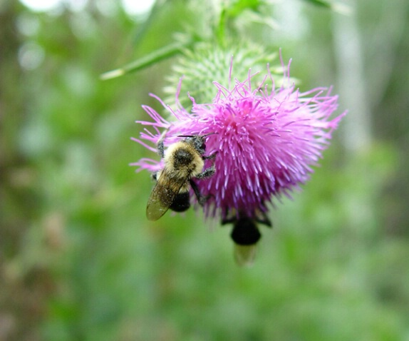 Bumblebees - ID: 359356 © Virginia Ross