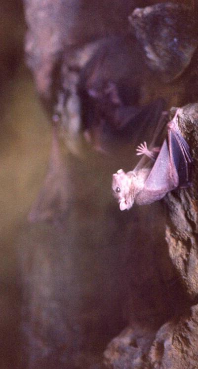 Vampire Bat - ID: 359378 © Virginia Ross
