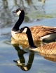 Geese Reflecting ...