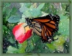 Lady Monarch