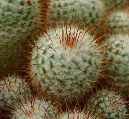 Prickly Balls