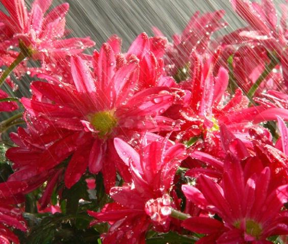 Flowers Loving the Rain - ID: 361775 © Virginia Ross