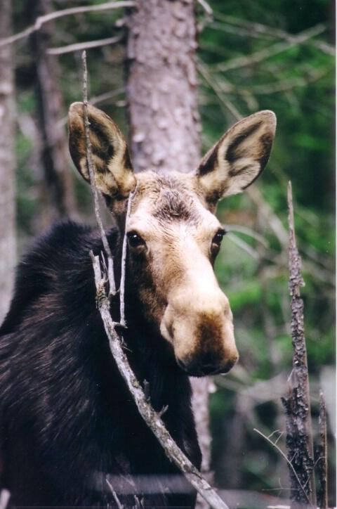 Cow Moose In Algonquin Park