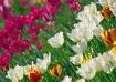 Tulip Diagonal