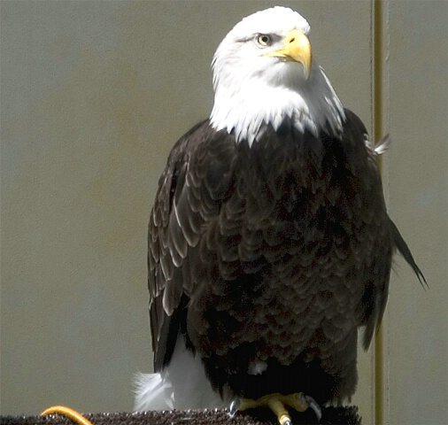 California Eagle