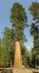 Giant Sequoia