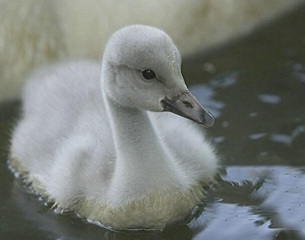 Baby Swan - ID: 374528 © Michael Wehrman