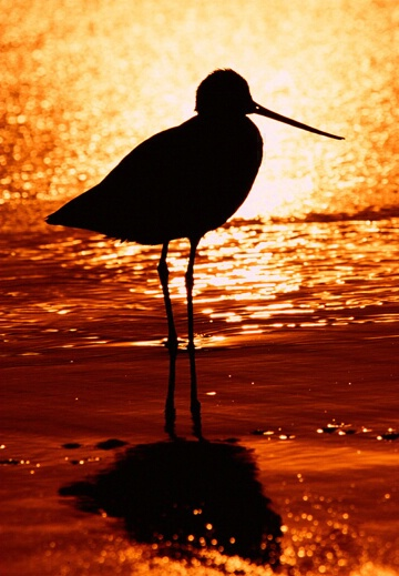 Marbled godwit at sundown