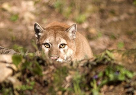 Cougar_02