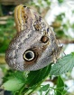 Big Owl Butterfly