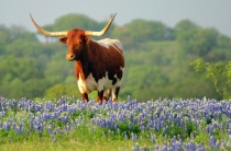 Hill Country Longhorn