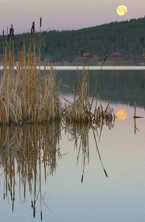 Cattails at Dawn