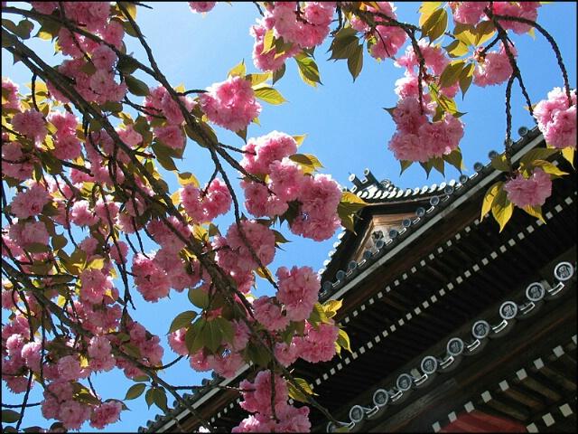 Japanese cherryblossoms