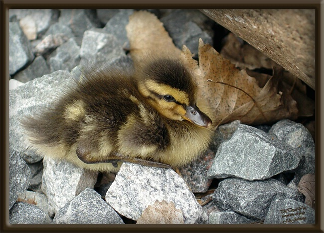 Lost Duckling