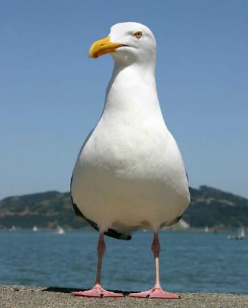 Sausalito Seagull