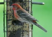 House Finch Portr...