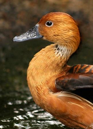 Curvaceous Quacker