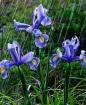 Blue Flag Iris in...