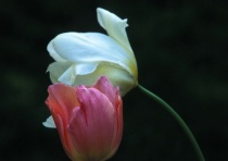 Tulips In Space