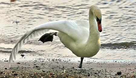 Swan - YOGA