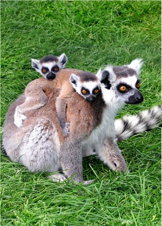 Lemur Twins
