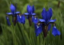 Irises 2 (-1 exposure)