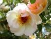 Peaches & Cre...