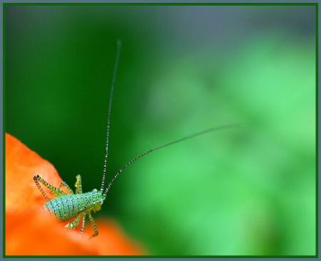 Grasshopper in a Poppy