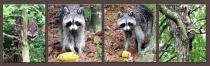 Raccoon's Tale