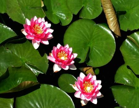 Three Lily flowers
