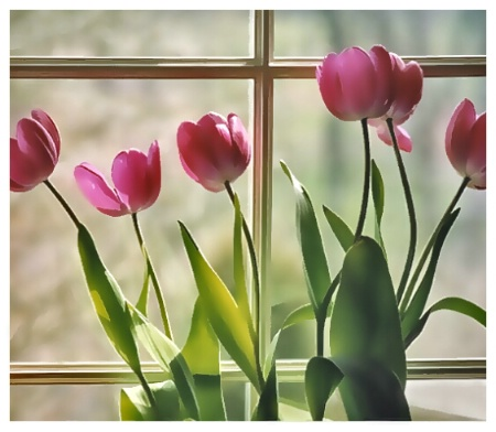 Window Tulips