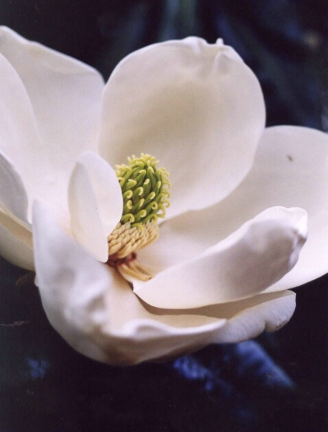Magnolias First Bloom of Summer
