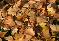 Autumn Leaves in the East Tce Parklands