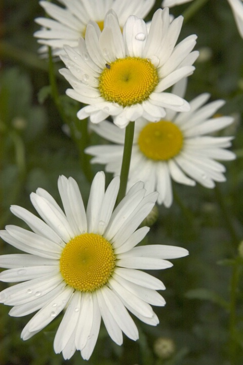 Cascading Daisies - ID: 417137 © Virginia Ross