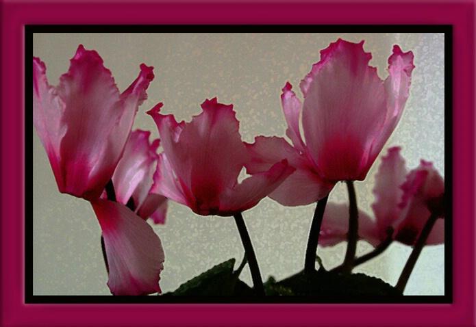 Begonias VII
