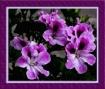 Begonias IX