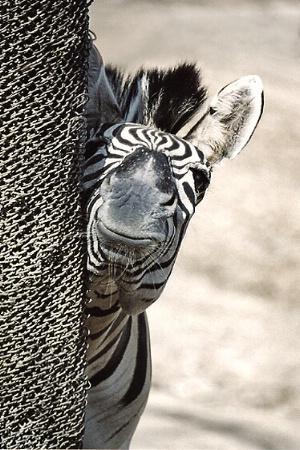 Zebra....peeking