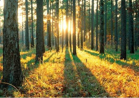 Sunrise in pine stand