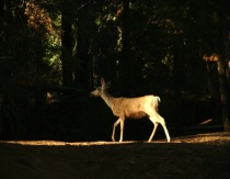 A Fawn in the Sequoias