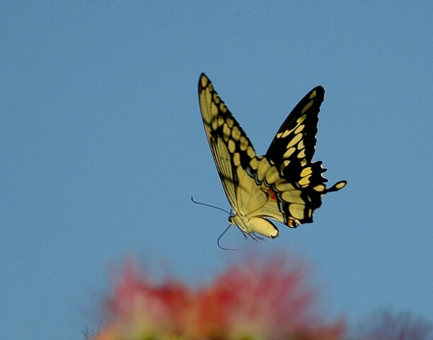 Butterfly In Flight