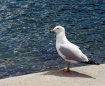 Simply Seagull