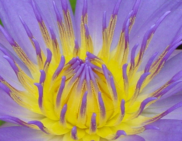 Heart of the Water Lily