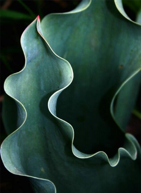 Tulip Arabesque