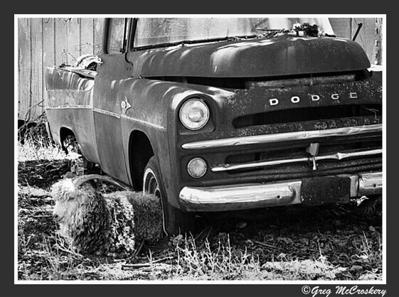 Ram Tough - ID: 435102 © Greg McCroskery